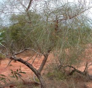 Acacia coriacea4