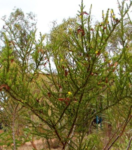 Acacia deltoidea