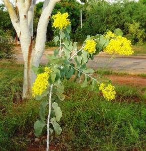 Acacia dunnii1