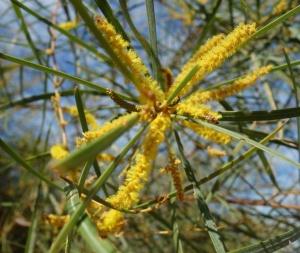 Acacia eriopoda