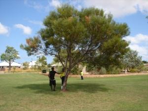 Acacia eriopoda1