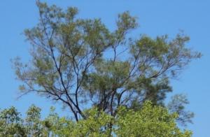 Acacia gracillima