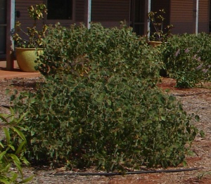 Acacia humifusa