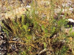 Acacia hypermeces