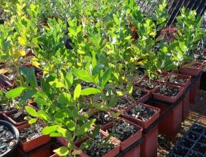 Acacia lamprocarpa Salwood