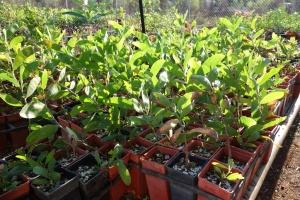 Acacia lamprocarpa