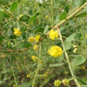 Acacia monticola