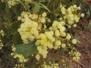 Acacia platycarpa2