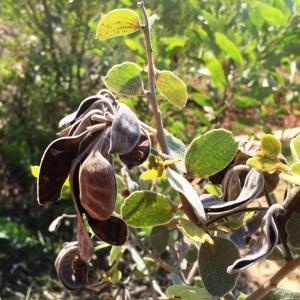 Acacia retivenea