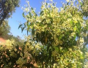 Acacia sericata
