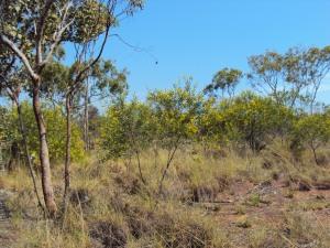 Acacia tenuispica