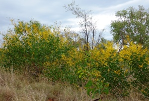 Acacia tumida 3