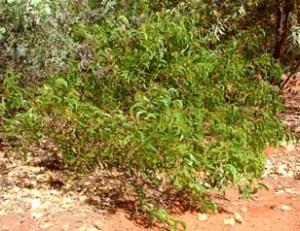 Acacia tumida Broome sp