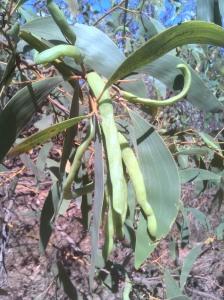 Acacia tumida