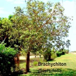 Brachychiton diversifolius