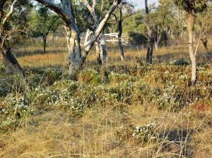 Buchnera ramosissima