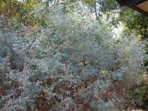 Cajanus pubescens shrub