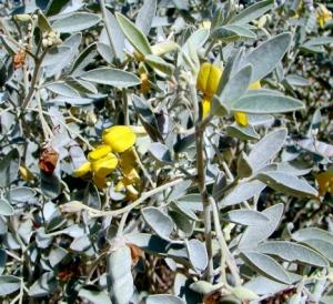 Cajanus pubescens