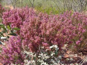 Calytrix carinata