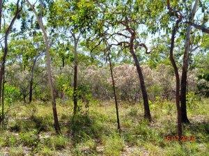 Calytrix exstipulata in pindan woodland