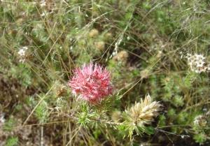 Calytrix gomphrenoides