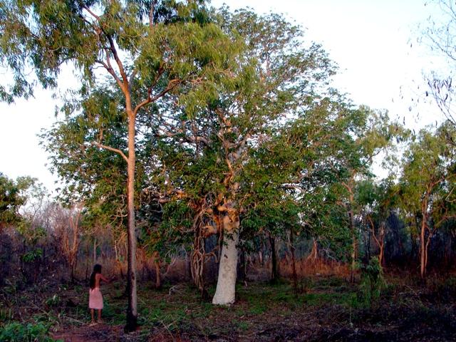 Canarium australianum
