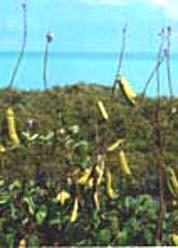 Canavalia rosea pods