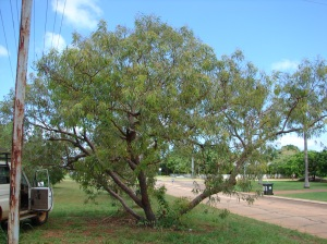 Corymbia cliftoniana.jpeg 2
