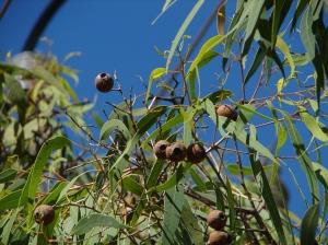 Corymbia cliftoniana