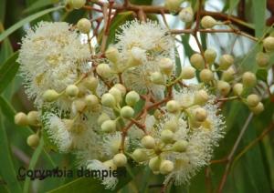 Corymbia dampieri copy