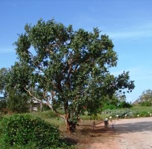 Corymbia flavescens