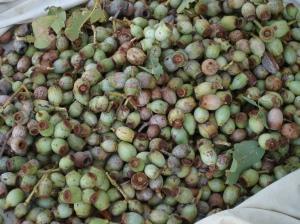 corymbia-greeniana