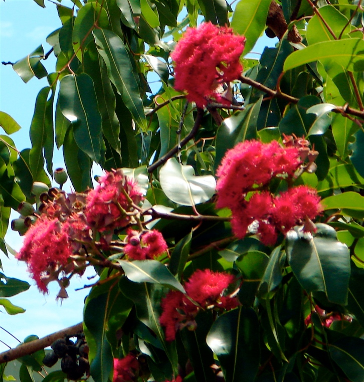 https://northwestplants.files.wordpress.com/2015/08/corymbia-ptychocarpa.jpg?w=726&h=763