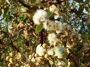 Corymbia zygophylla