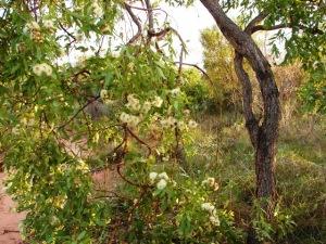 Corymbia zygophylla2