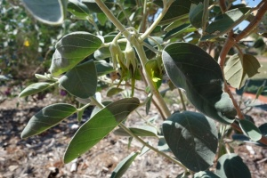 Crotalaria cunninghamii Kimberley