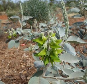 Crotalaria cunninghamii Pilbara 2