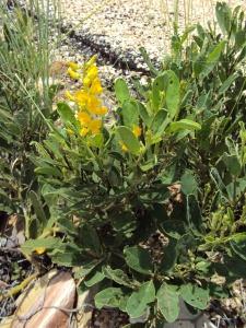 crotalaria-novae-hollandae