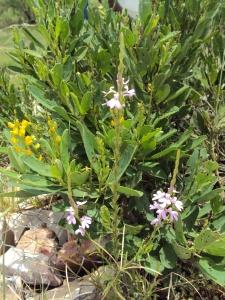 Crotalria novae hollandae + Striga curvifolia