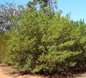 Dodonoea lanceolata2