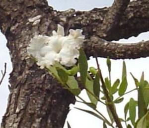 Dolichandrone heterophylla