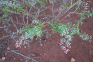Trianthema pilosa