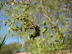 Ehretia saligna