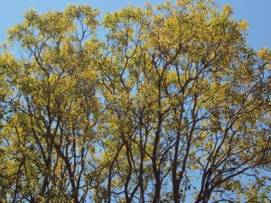 Eucalyptus brachyandra 1a