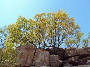 Eucalyptus brachyandra