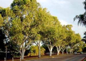 Eucalyptus c2.jpg camaldulensis