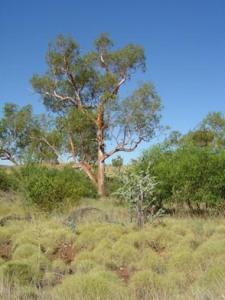 Eucalyptus camaldulensis 2