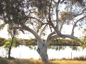Eucalyptus camaldulensis 4