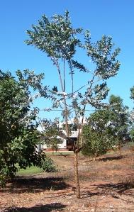Eucalyptus ceracea3
