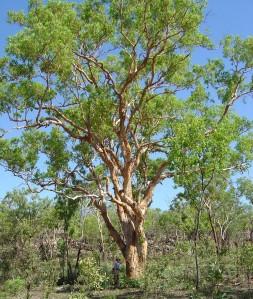 Corymbia grandifolia subsp. lamprocardia